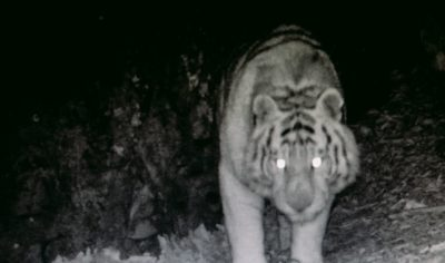 Золото тигров